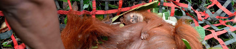 Rescued Sumatran Orangutans