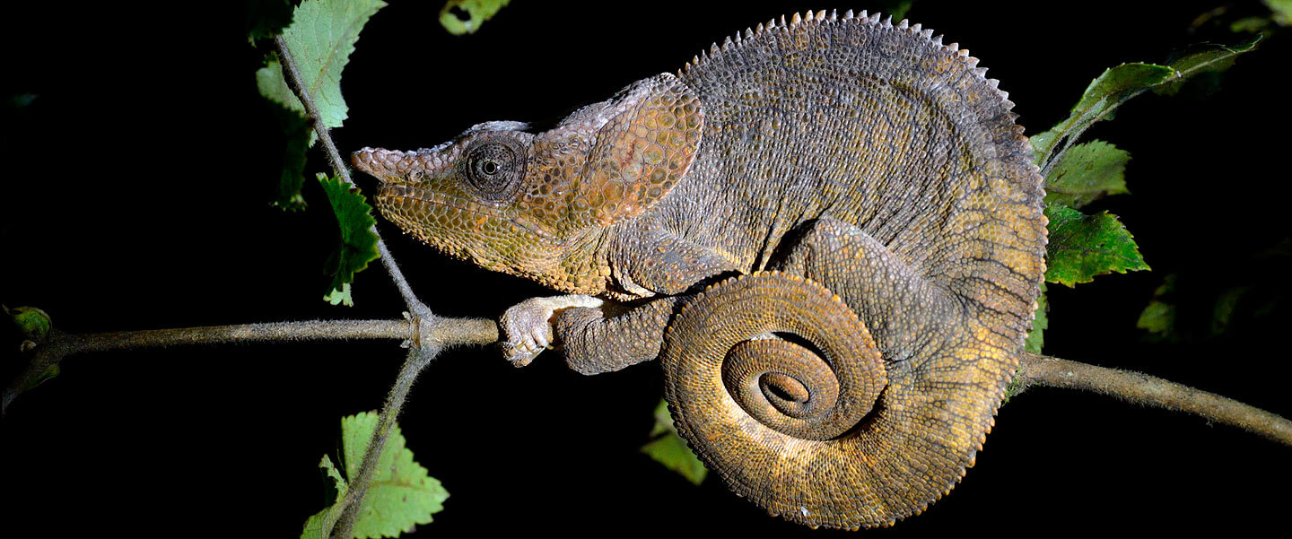 Singled Horned Chameleon