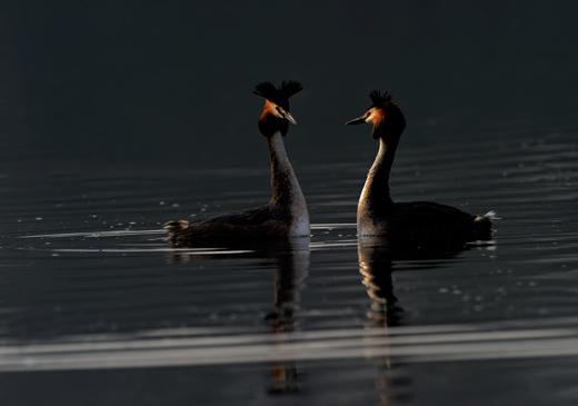 Morning Courtship