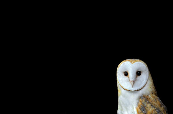 Barn Owl At Rest