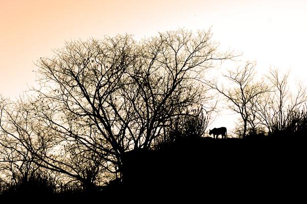Tigers On The Ridge