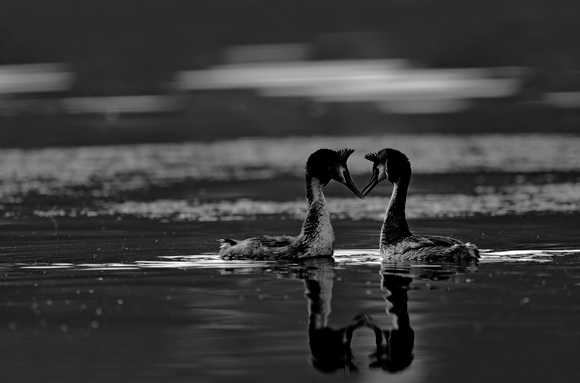 Courtship Grebes