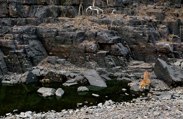 Drinking Tiger