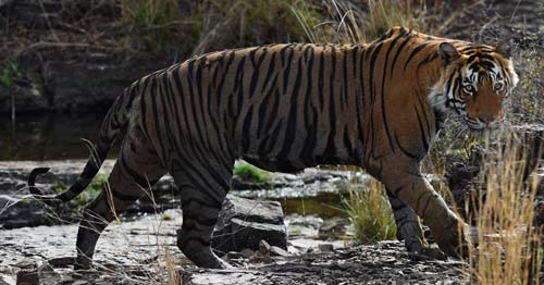 Tiger Contact
