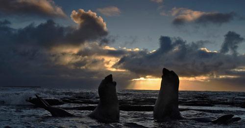 Fighting Seals