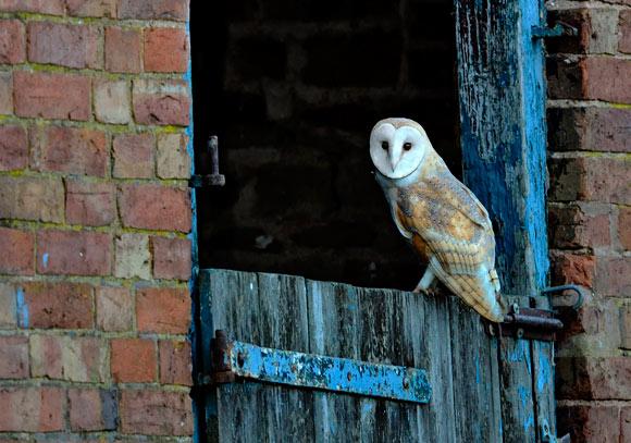 Barn Owl Watching Me