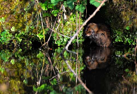 Water Vole Cleaning