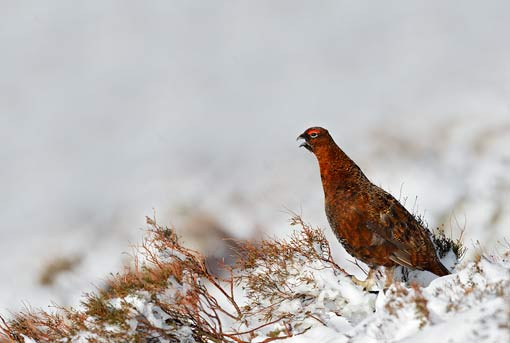 Red Grouse Calling