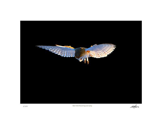 Barn Owl Hovering Over Prey
