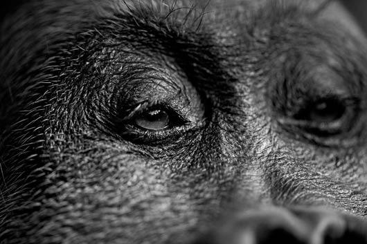 Great Ape Close Up