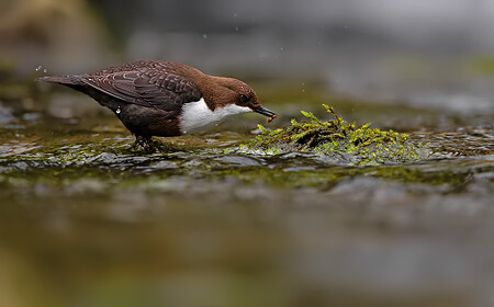 Dippers Of The Dales
