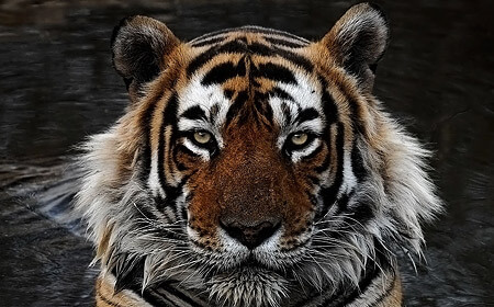 Tigers Of India 2021